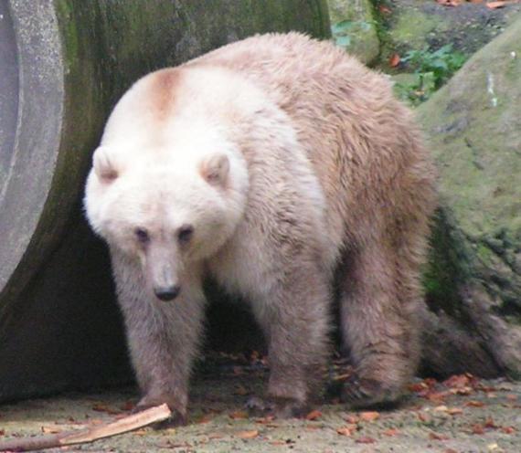 BBVA-OpenMind-Evidencias genéticas del cambio climático-Grolar-El deshielo en el Ártico está poniendo en contacto especies que antes jamás habrían coincidido en el mismo espacio geográfico. Es el caso de los osos polares, que pasan cada vez más tiempo en tierra a falta de zonas heladas en verano, y de los osos pardos, que ascienden latitudes gracias a que mejora el clima en las cimas