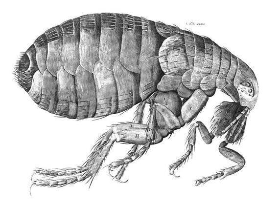 BBVA-OpenMind-galería-grandes-imágenes-de-la-ciencia-1-pulga