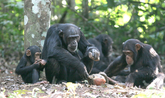 Eight Striking Similarities between Humans and Chimpanzees