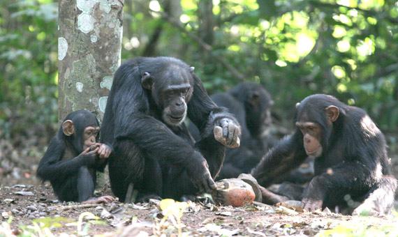 BBVA-OpenMind-3-chimpances-morales