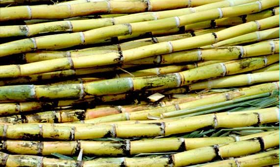 cana azucar-Los desechos de cultivos de caña de azúcar se emplean para generar biocombustibles.