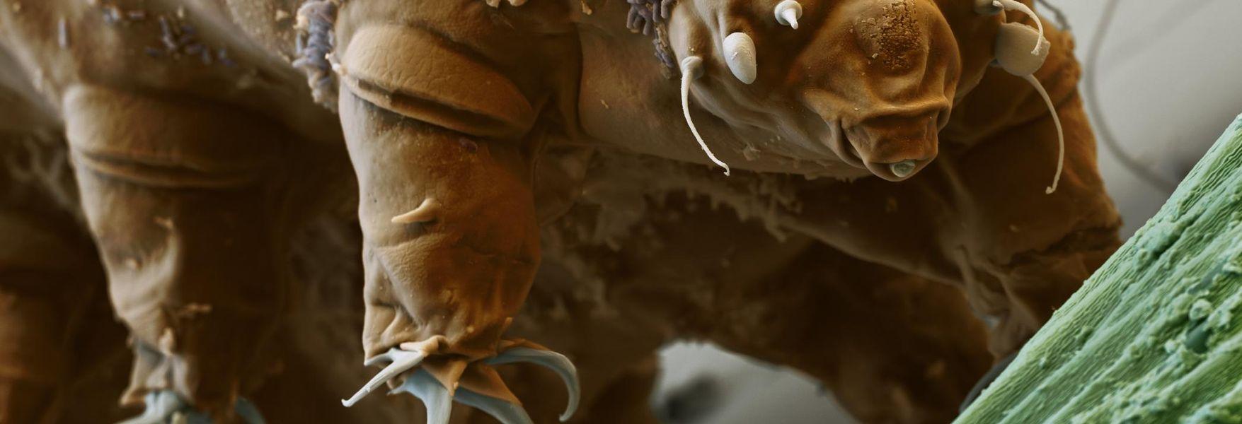 Tardígrados, animales con superpoderes - OpenMind