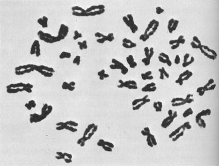 2.La primera célula humana que mostraron Tjio y Levan y que demostraba que nuestro cariotipo está constituido por 46 cromosomas y no 48.