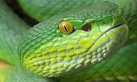 Las serpientes detectan el calor de sus presas gracias a sus fosetas.Crédito: Steve Kharmawphlang.