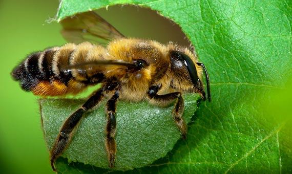 Las abejas poseen en su abdomen un anillo de gránulos de magnetita que actúa como brújula natural. Crédito: JRxpo/Flickr