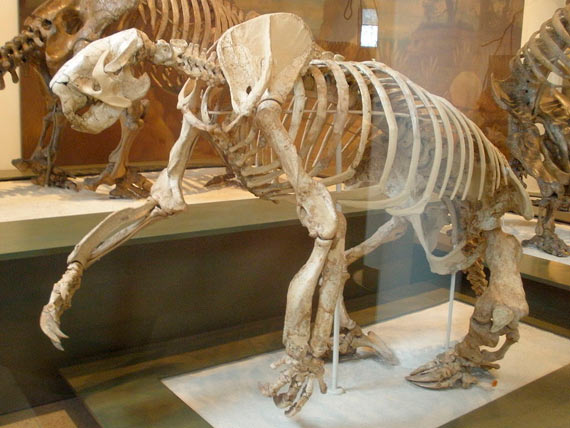 Megalonyx's fossil specimen in the American Museum of Natural History, New York. Credit: Ghedoghedo