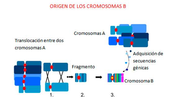 Modelo del origen de los cromosomas B / Imagen: Houben, A. et al. 2014.