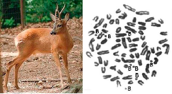 The Siberian stag has been cited the presence of chromosomes B (left). A right cell of a specimen with 8 B chromosomes (right) / Image: Wikipedia