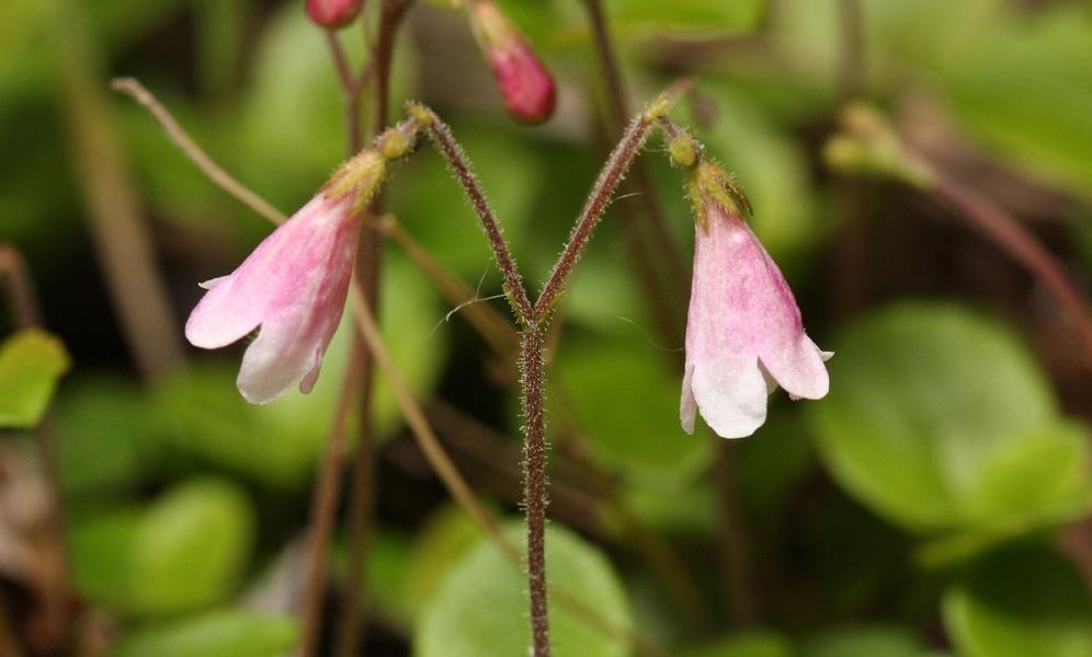 Linnaea borealis, una de las plantas nombradas en honor al padre de la taxonomía Carlos Linneo. Crédito: Walter Siegmund