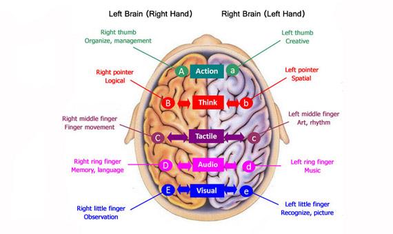 Teoría de la conectividad del lóbulo del cerebro con los dedos/ Imagen: