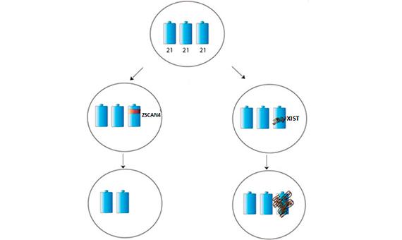 4.Esquema donde se ilustra cómo a partir de células pluripotentes trisómicas se puede eliminar el cromosoma 21 adicional - a la izquierda-o cómo se puede silenciar tal cromosoma- a la derecha. ZSCAN4 y XIST son los genes que se introducen en las células trisómicas para conseguir estos objetivos-véase texto