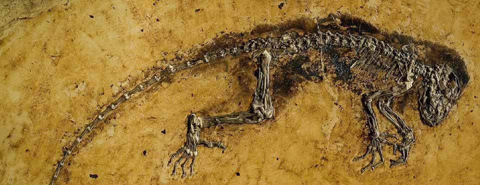 Esqueleto de Darwinius masillae. Crédito: Franzen JL et al. / PLOS ONE