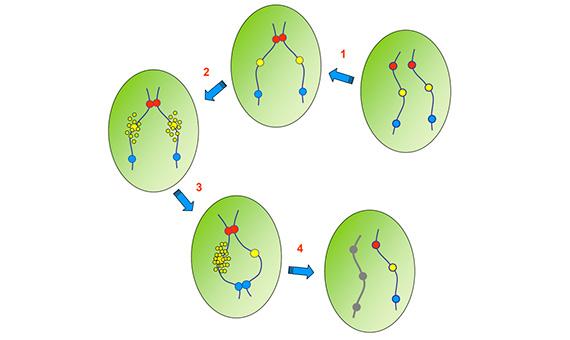 Los puntos amarillos pequeños representan la expresión del gen Xist. Finalmente, el cromosoma X inactivo se representa en gris.