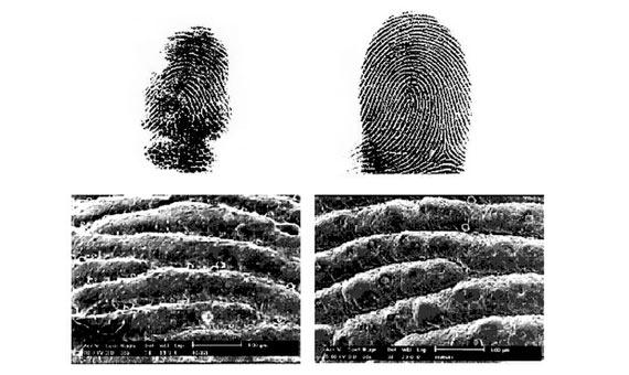 En la parte superior de la imagen se muestra una huella de tinta de un koala macho (izquierda) junto a la de un humano adulto (derecha). En la parte inferior, una imagen al microscopio de la epidermis de los mismos individuos. Crédito: Macie Hennernber et al.