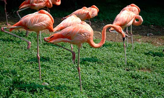 For flamingos, resting on one leg is the most stable position. Credit: Sceyenceguy