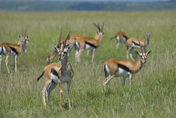 La gacela de Thomson es uno de los habitantes más reconocibles de la sabana africana. Crédito: Paul Mannix
