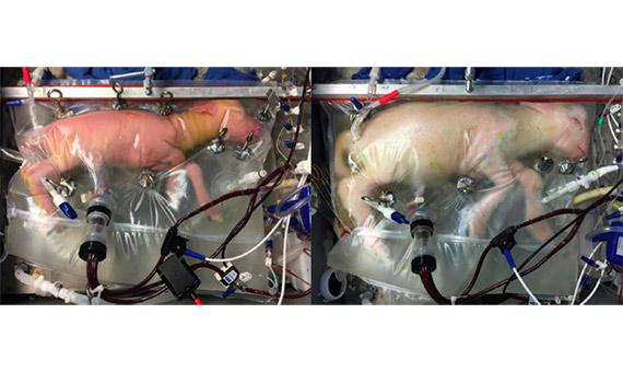 Uno de los corderos antes y después del proceso de gestación artificial Partridge et al./ Imagen: Nature Communications