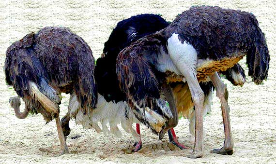 Ostriches with heads in the sand. Credit: Fwaaldijk