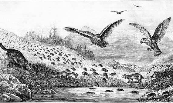 Durante las migraciones, los lemmings pueden intentar cruzar cursos de agua y a veces morir en el intento. Fuente: Popular Science