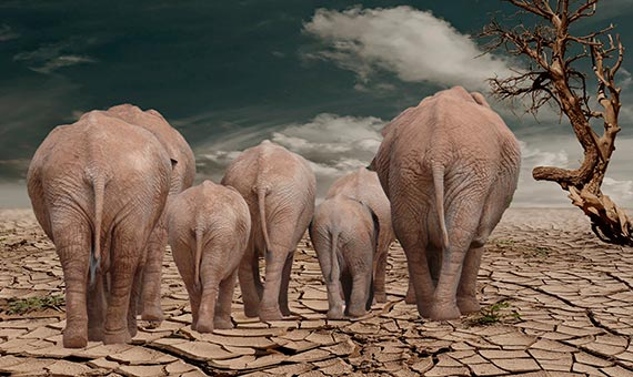 Es probable que en períodos de escasez y sequía, los elefantes se agrupen en ciertas zonas. Crédito: Karen Arnold