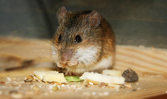 The connection between mice and cheese is one more example of fictional clichés. Credit: Alice Popkorn
