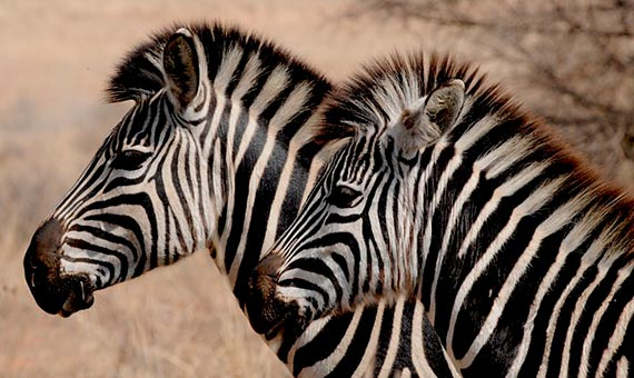 The purpose of the zebra striped suit is still an open debate. Credit: hbieser