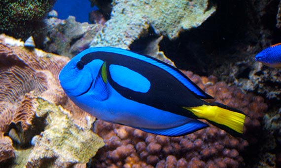 Varias especies de peces son capaces de recordar a largo plazo por semanas, meses o incluso años. Crédito: Tewy