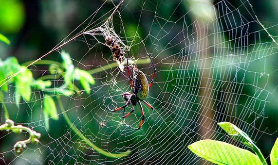 Los investigadores han secuenciando el genoma de la araña seda de oro. Crédito: Bernard Gagnon.
