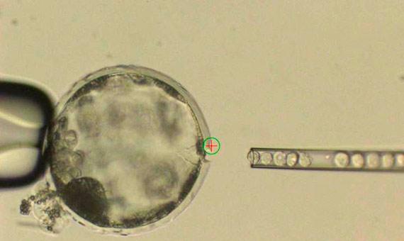 La fotografía muestra la inyección de células madre humanas iPS en las etapas tempranas de un embrión de cerdo. Crédito: Juan Carlos Izpisúa Belmonte.