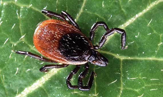Adult of a deer tick (Ixodes scapularis), the main vector of Lyme disease. Credit: Scott Bauer