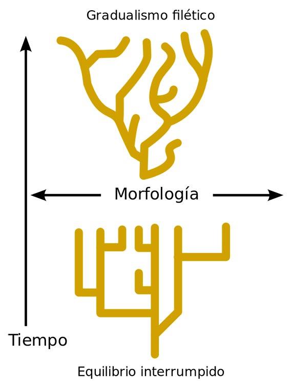 El Equilibrio puntuado frente al Gradualismo. Fuente: Wikimedia