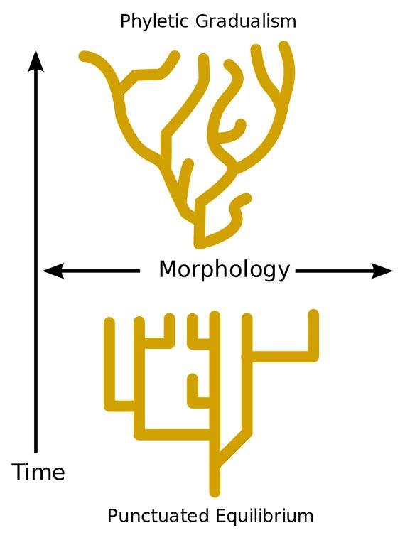 Punctuated equilibrium vs Gradualism. Source: Wikimedia