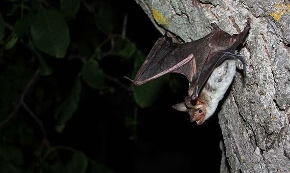 Los murciélagos emiten sonidos y analizan cerebralmente su eco.Crédito: Stefan Greif