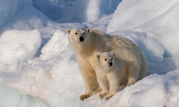 El pelo del oso polar tiene una estructura bien perfilada a nivel microscópico que permite atrapar aire dentro, lo que le sirve de aislamiento térmico. Crédito: AWeith