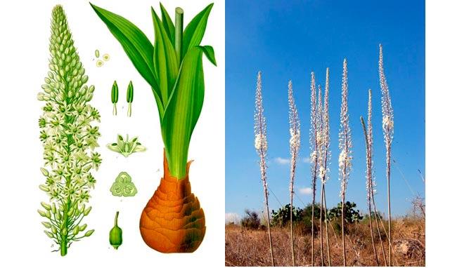 Drimia maritima Franz Eugen Köhler, Köhler's Medizinal-Pflanzen (Imagen izquierda) / Urginea maritima (Imagen derecha: שומבלע)