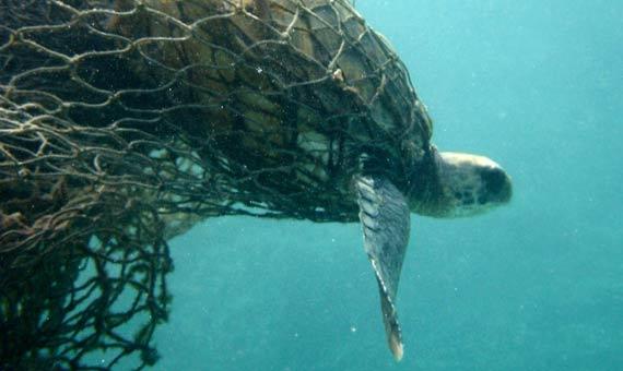 La ONG ambiental The Nature Conservancy está creando un algoritmo capaz de identificar si se captura una tortuga y se libera. Crédito: Doug Helton, NOAA/NOS/ORR/ERD
