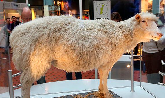 La oveja Dolly permanece disecada en el Museo Nacional de Escocia. Hizo historia al ser el primer mamífero clonado a partir de una célula de un animal adulto. Crédito: Geni