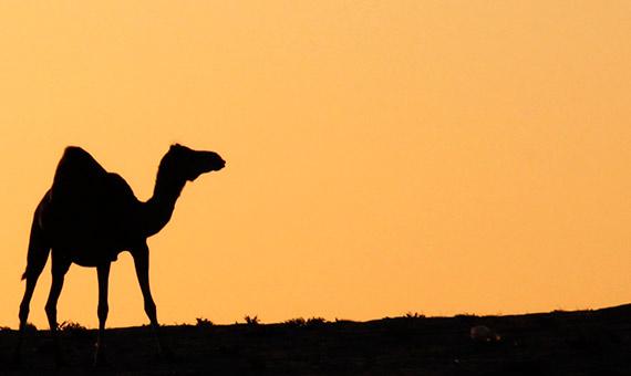 La FAO ha declarado 2018 Año Internacional de los Camellos para resaltar su importancia en la supervivencia de comunidades que viven en entornos hostiles. Crédito: Mohammad N. Al-Saleh.