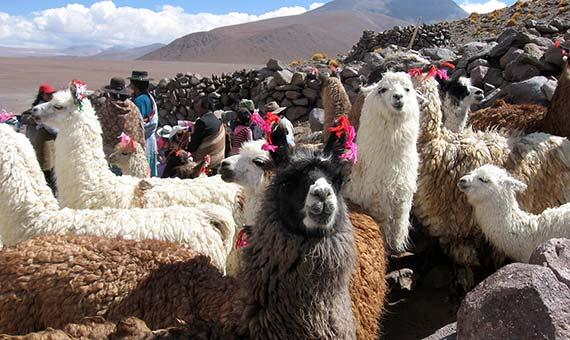 Bolivia tiene cerca de tres millones de llamas, sobre todo en la zona andina. Crédito: Revolution Ferg.
