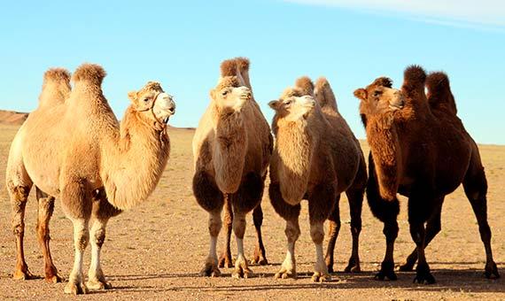El camello de dos jorobas es un Bactriano y está en grave peligro de extinción. Crédito: Ilkerender.