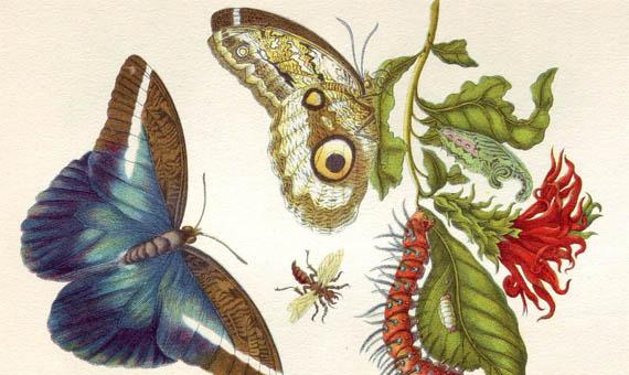 Maria Sybilla Merian mostró la relación de los insectos con otros animales y plantas. Fuente: Metamorphosis insectorum Surinamensium