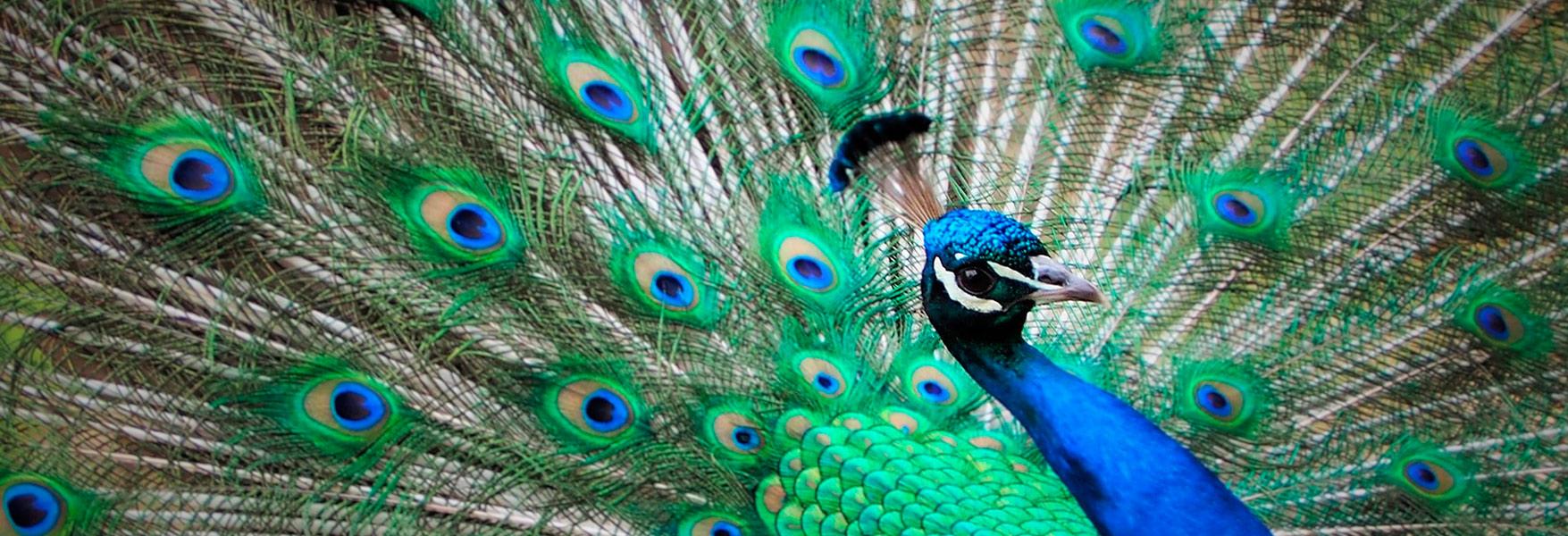 El Secreto Del Colorido Plumaje De Las Aves