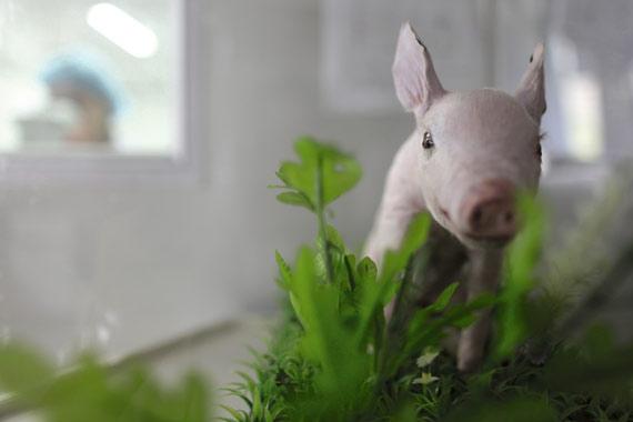 El primer cerdo clonado en China, disecado y expuesto en el Beijing Genomics Institute, en Shenzhen, julio de 2010. Según el Banco Mundial, la población china pasará de 1.330 millones en 2009 a 1.440 millones en 2030. y Pekín está a la caza de tecnología punta que ayude a alimentar a sus habitantes y mejorar la calidad de la comida.