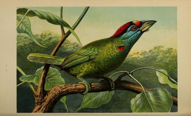 Ilustración de un barbudo gorgiazul en Intelectual Observer. Crédito: Biodiversity Heritage Library