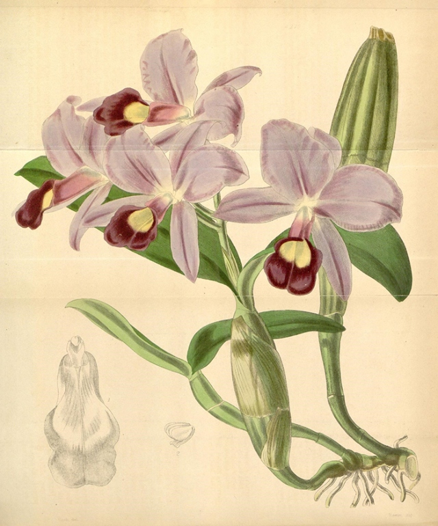 Orquídea en la Curtis's Botanical Magazine. Crédito: Biodiversity Heritage Library