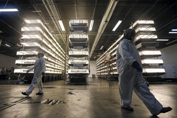 En esta planta de cultivo de guisantes enanos, un algoritmo controla la luz, los nutrientes y la temperatura, Newark, Nueva Jersey