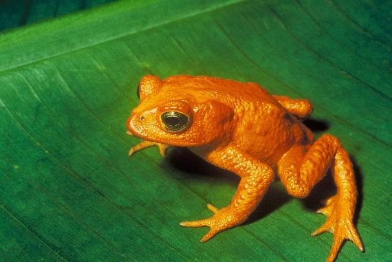 BBVA-OpenMind-MAteria-Fin de la Década de la Biodiversidad de la ONU-Biodiversidad 2-El sapo dorado (Incilius periglenes) está clasificado como extinto. Fuente: Wikimedia