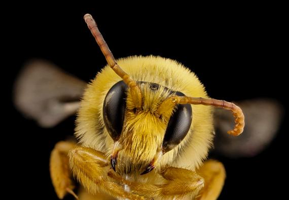 BBVA-OpenMind-Materia-Pasatiempo-Sudoku abejas 3-El cerebro de las abejas tiene menos de un millón de neuronas. Crédito: USGSBIML