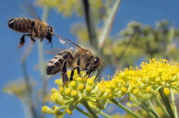 BBVA-OpenMind-Materia-Pasatiempos-2-El sudoku de las abejas que saben contar-Las abejas han desarrollado diferentes dialectos o versiones de su danza de comunicación. Crédito: Jack Wolf