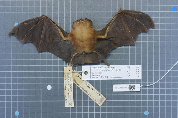 BBVA-OpenMind-Materia-Verdades, rumores y mentiras sobre el origen del coronavirus-Origen covid 3-Murciélago de la especie Rhinolophus affinis en la cual se encontró el virus RaTG13. Crédito: Naturalis Biodiversity Center